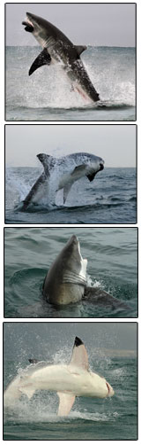 natural shark predation